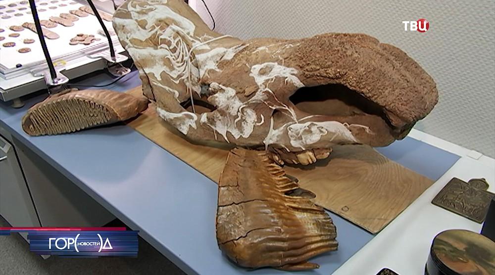 Череп шерстистого носорога. Экспонаты лаборатории экспертного центра таможенной службы