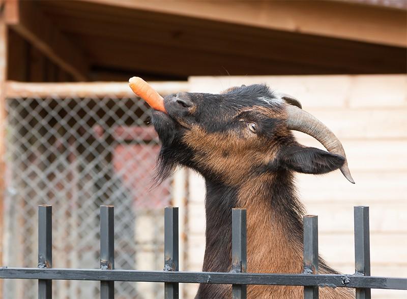 Коза ест морковку