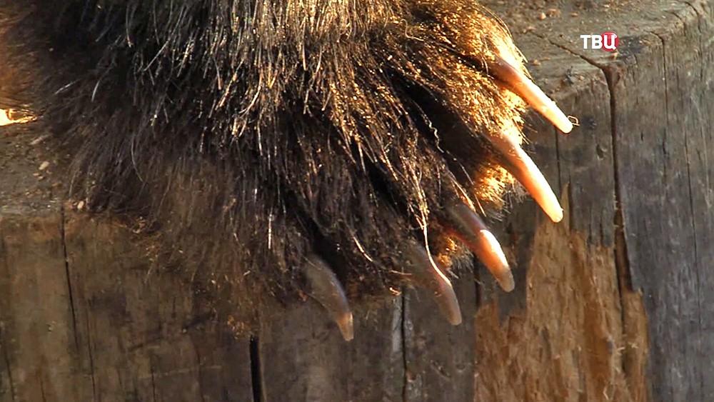Лапа медведя