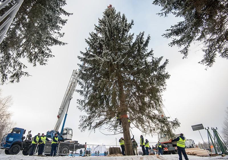 Подготовка к церемонии рубки и транспортировке главной новогодней ели России