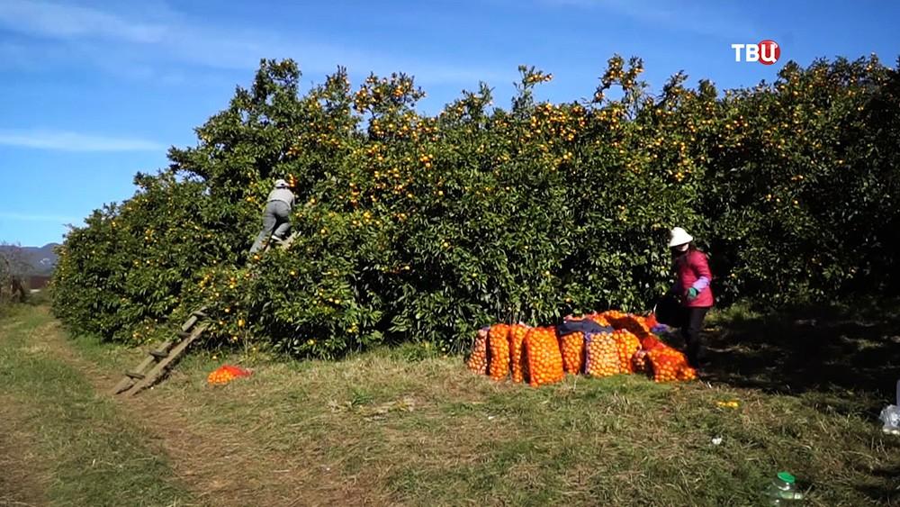 Сбор мандаринов