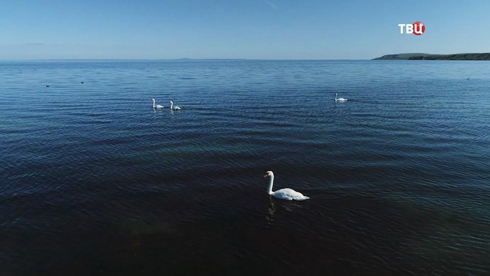 Лебеди в море