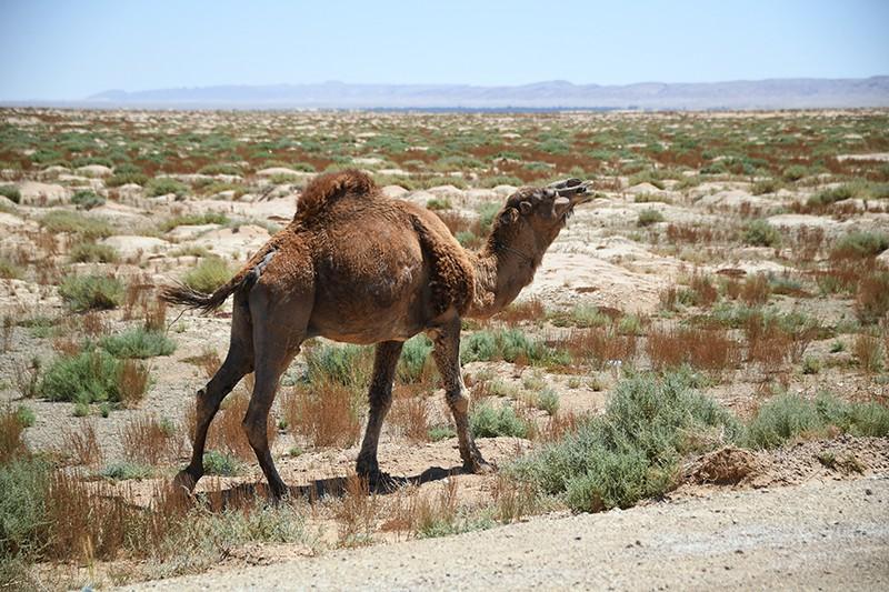 Верблюд в тунисской пустыне