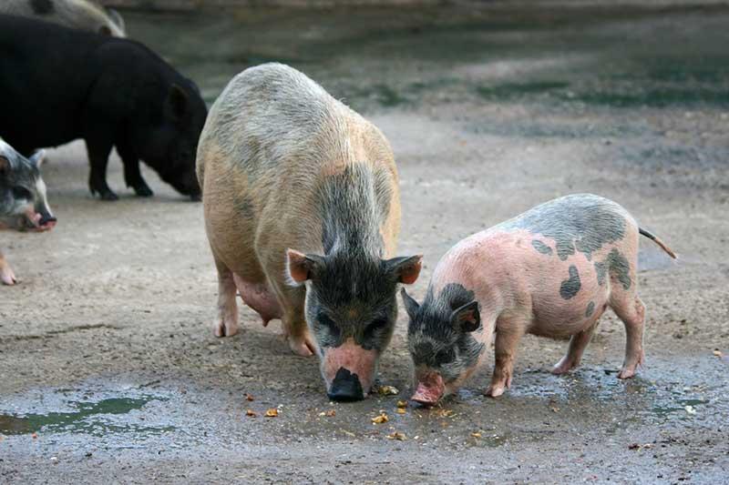 Декоративные свинки(мини-пиги) в питомнике