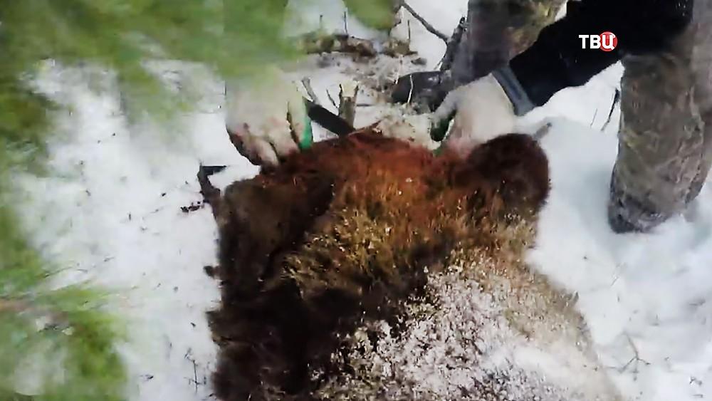 Медведь убитый во время охоты губернатора Иркутской области Сергея Левченко