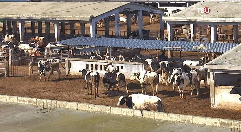 Животноводческая ферма в Сирии