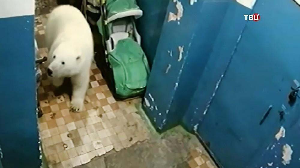 Белый медведь в подъезде