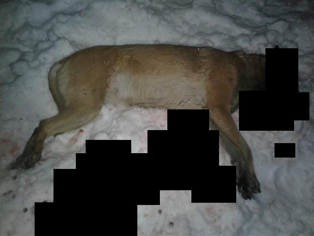 Мужчина застрелил служебную овчарку, перепутав ее с лисой
