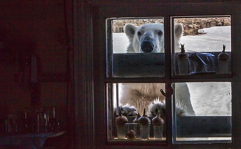 Белый медведь в окне
