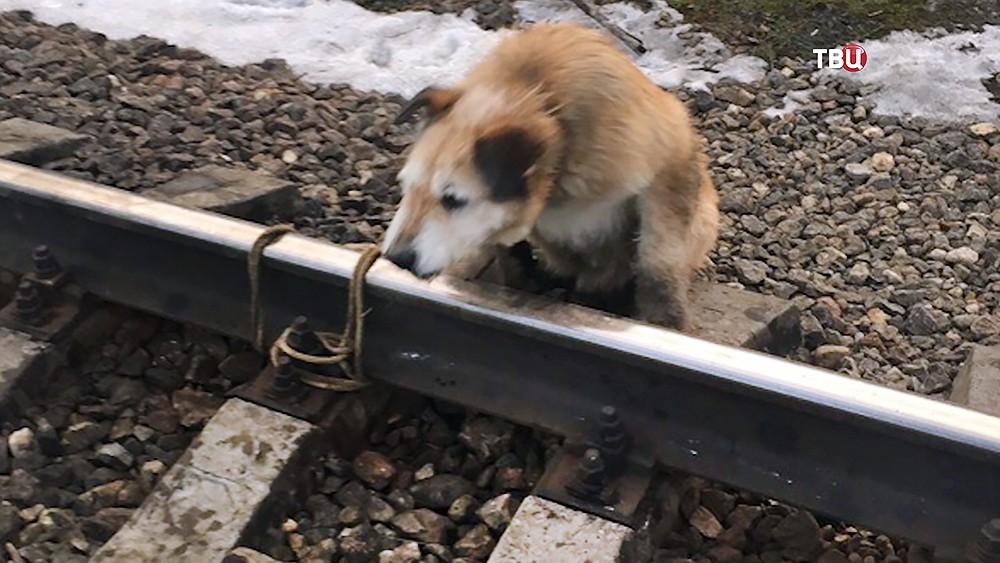 Собака, привязанная к рельсам живодером