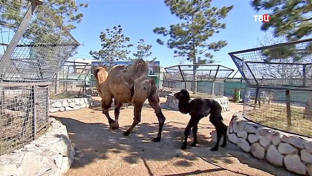 Верблюды в вольере в Крыму