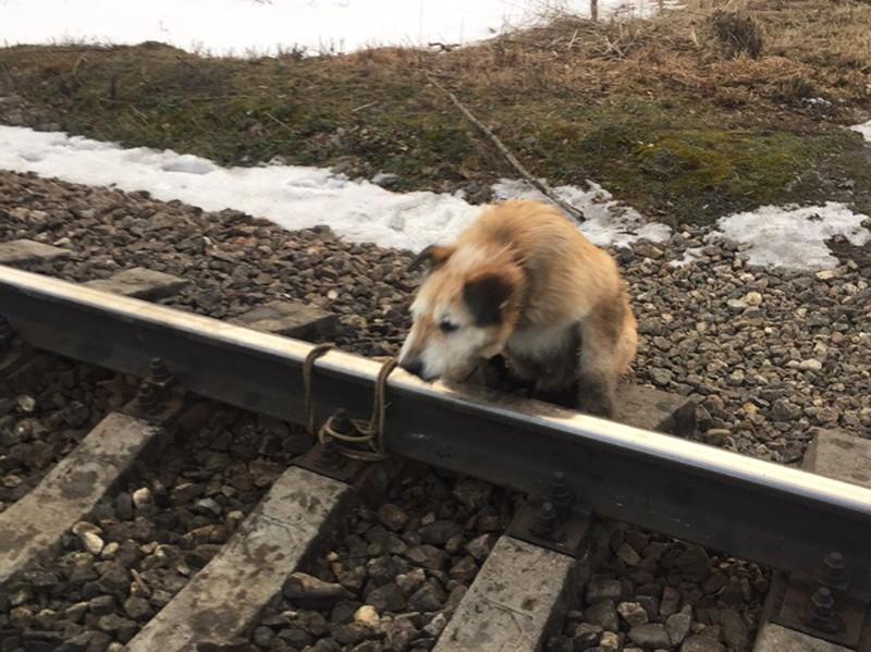 Собака, привязаная к рельсам