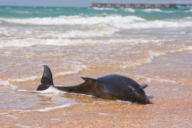 Мертвый дельфин