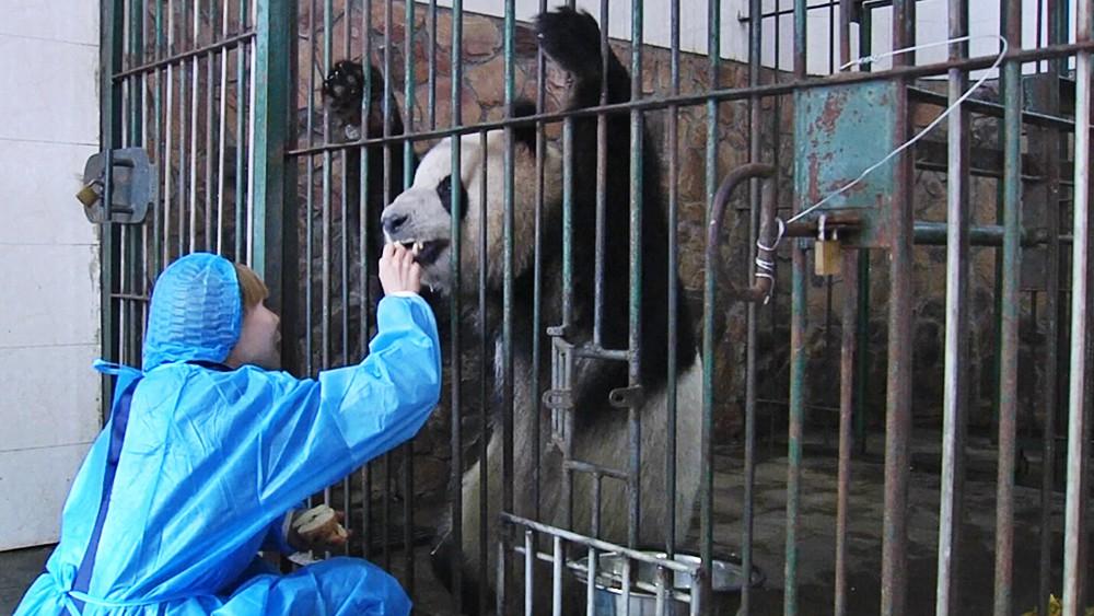 Панда в клетке