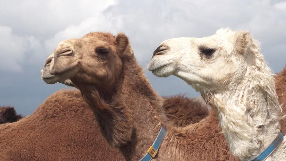 Верблюжья ферма в Сирии