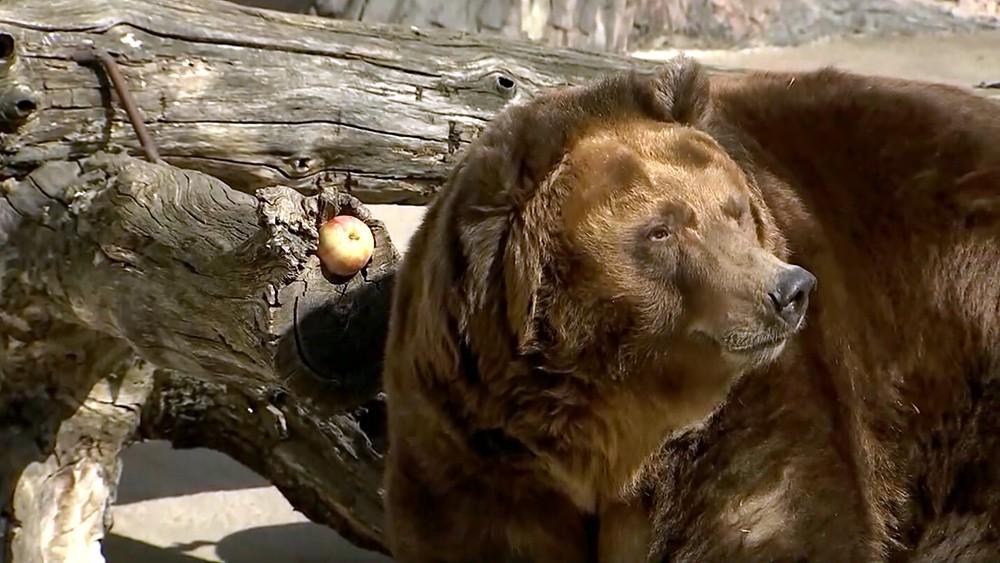 Медведь в зоопарке