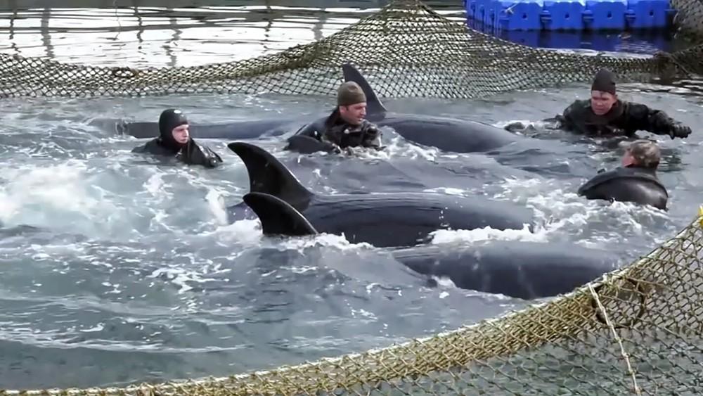 """Косатки в """"китовой тюрьме"""" в Приморье"""