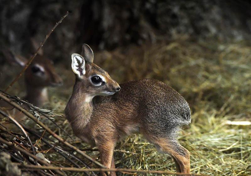 Детёныш миниатюрной африканской антилопы дикдик