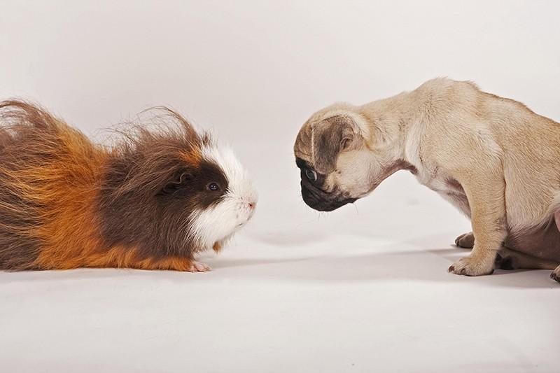 Морская свинка и щенок