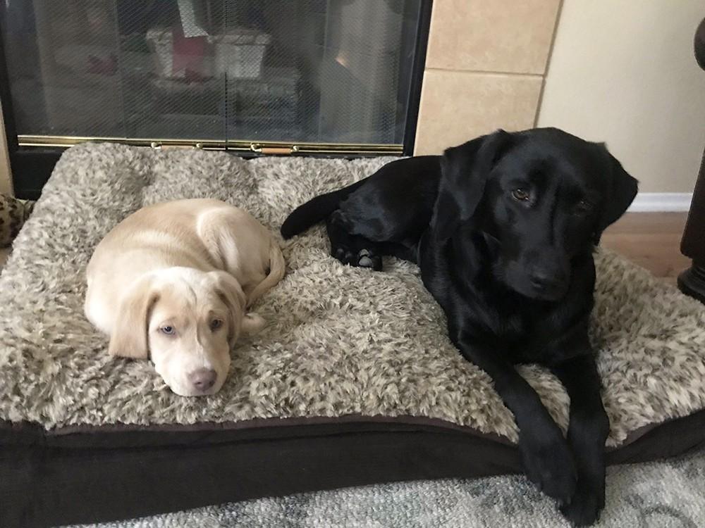 Собаки породы лабрадор