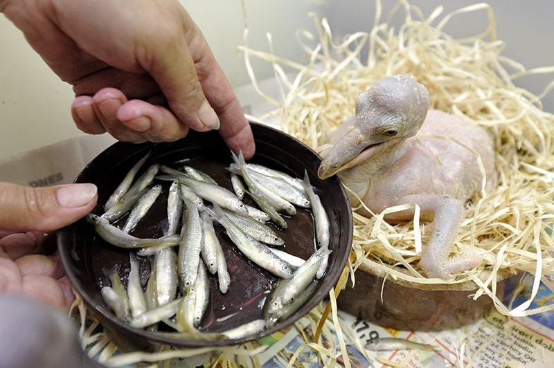 Птенец кудрявого пеликана