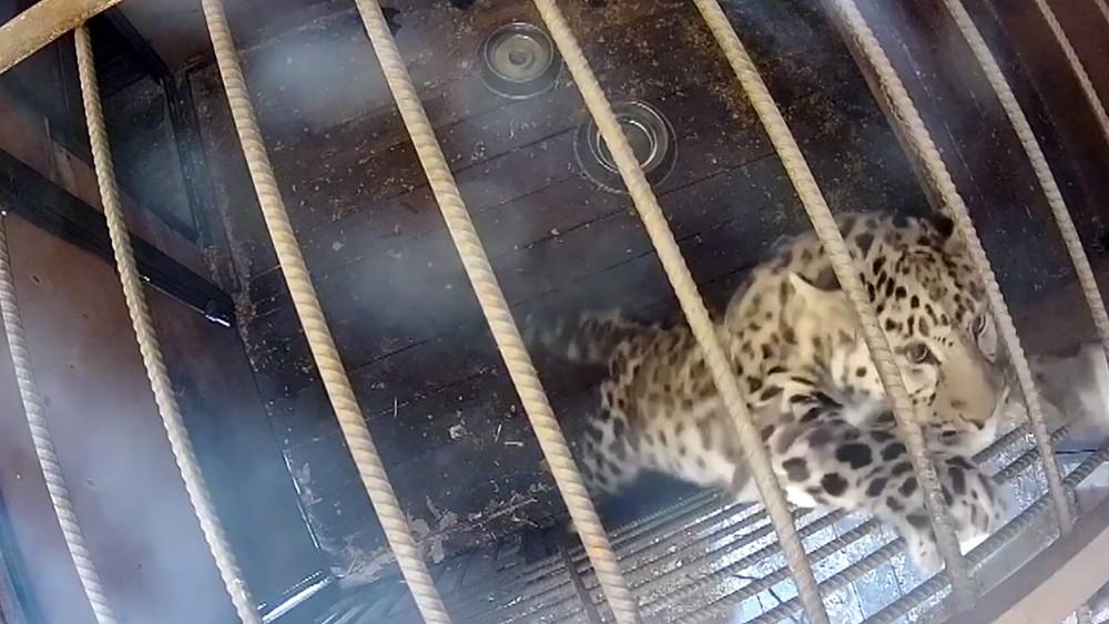 Леопард в вольере