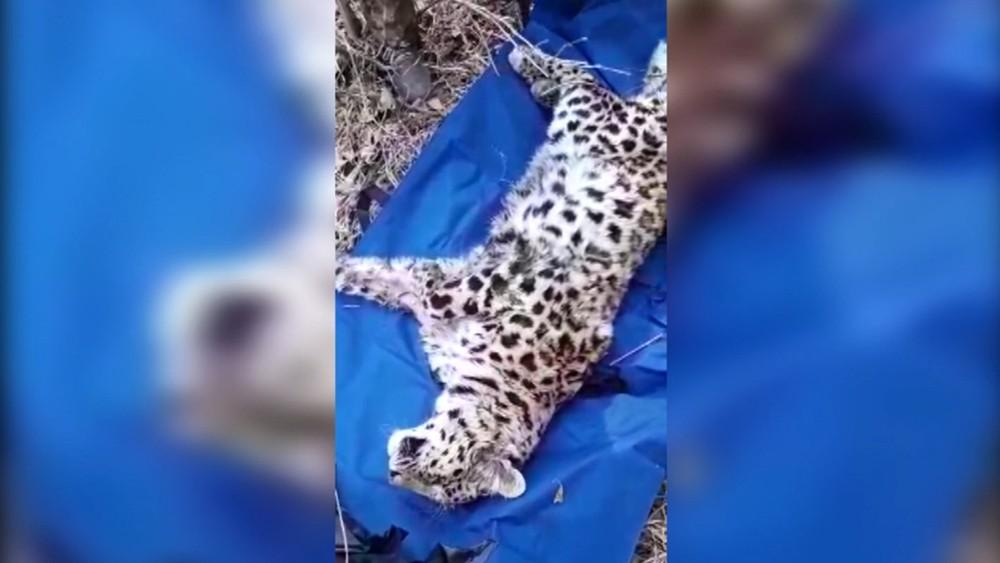 Раненый леопард