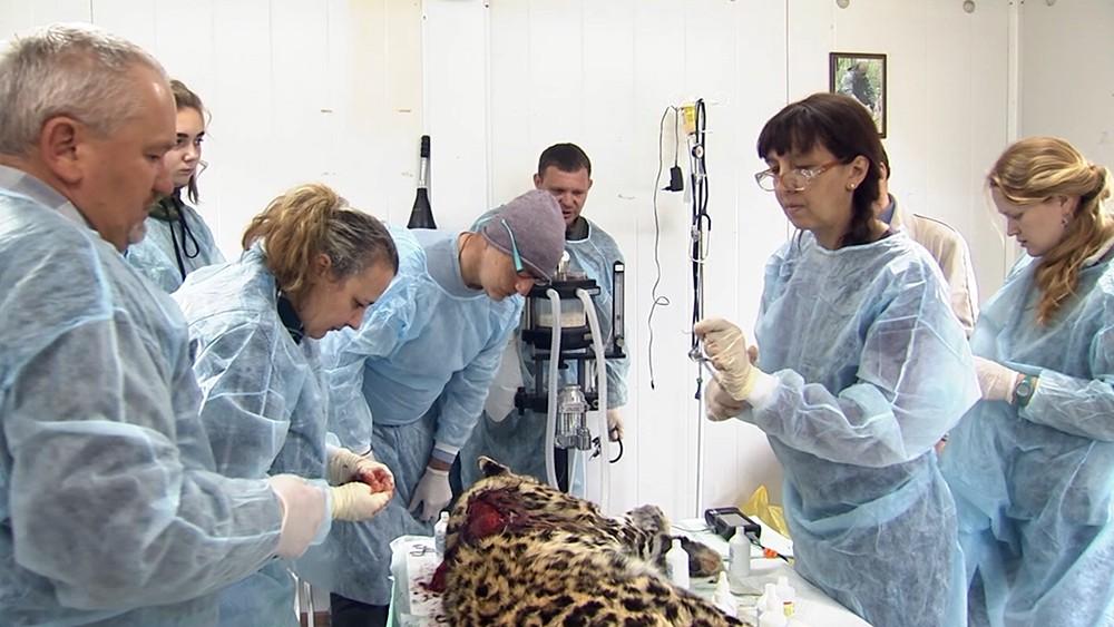 Ветеринары и леопард