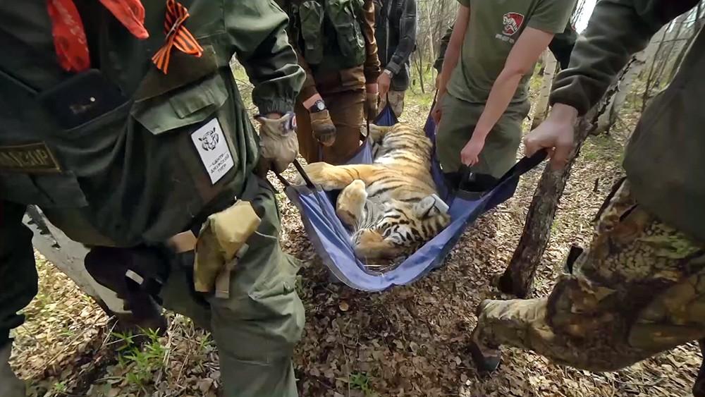 Сотрудники заповедника переносят амурского тигра