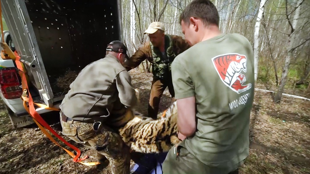 Сотрудники заповедника выпускают амурского тигра