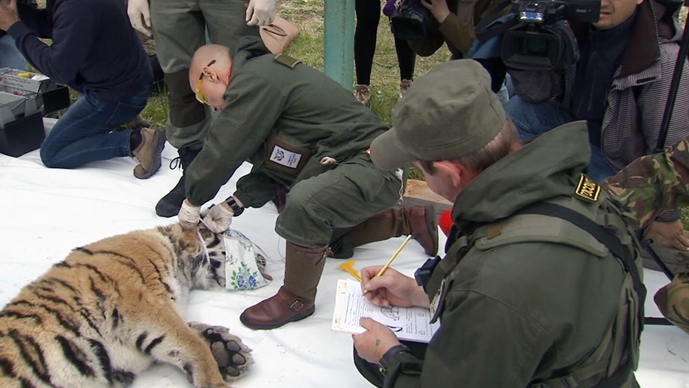 Сотрудники заповедника замеряют показатели амурского тигра