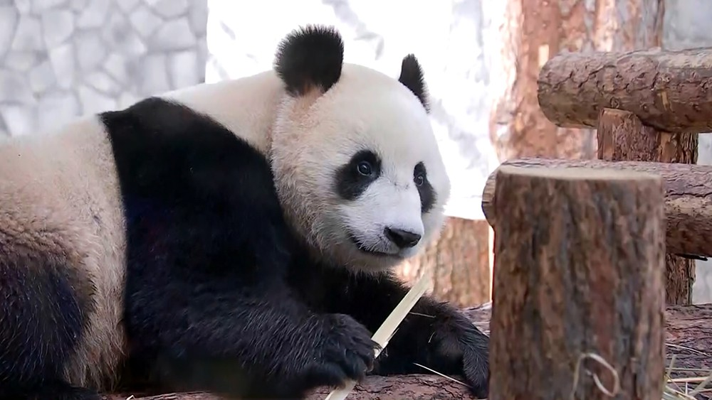 Китайские панды в Московском зоопарке