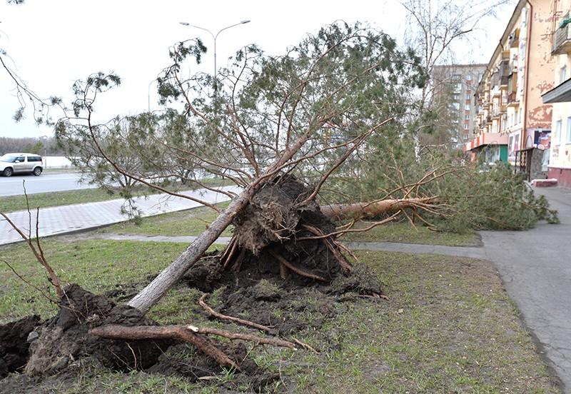 Выкорчеванные с корнем деревья в результате сильного урагана