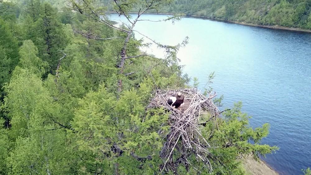Гнездо белоплечих орланов