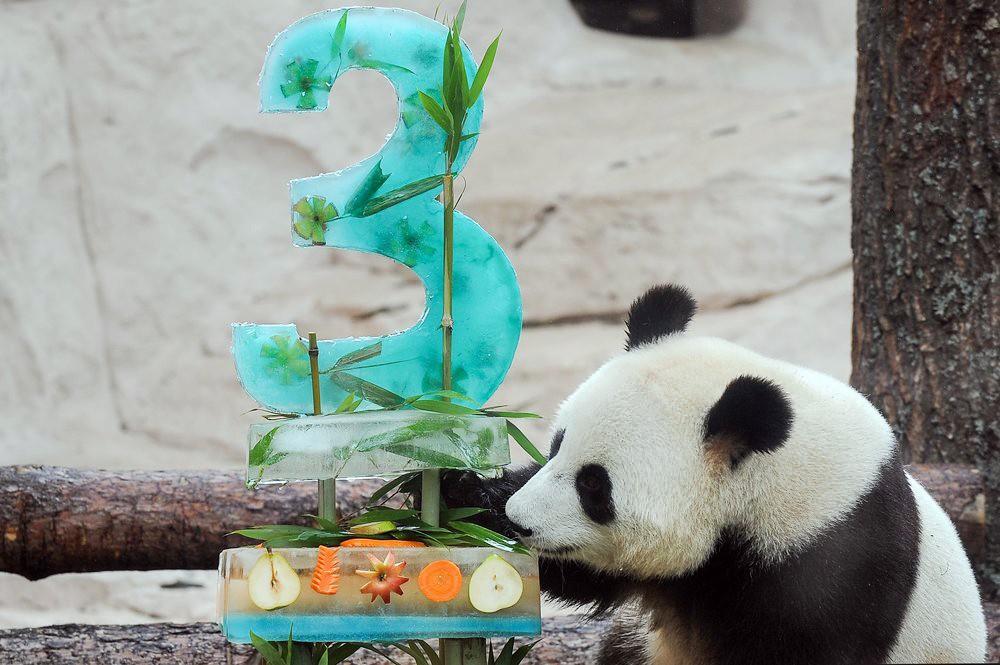 День рождения панд в Московском зоопарке