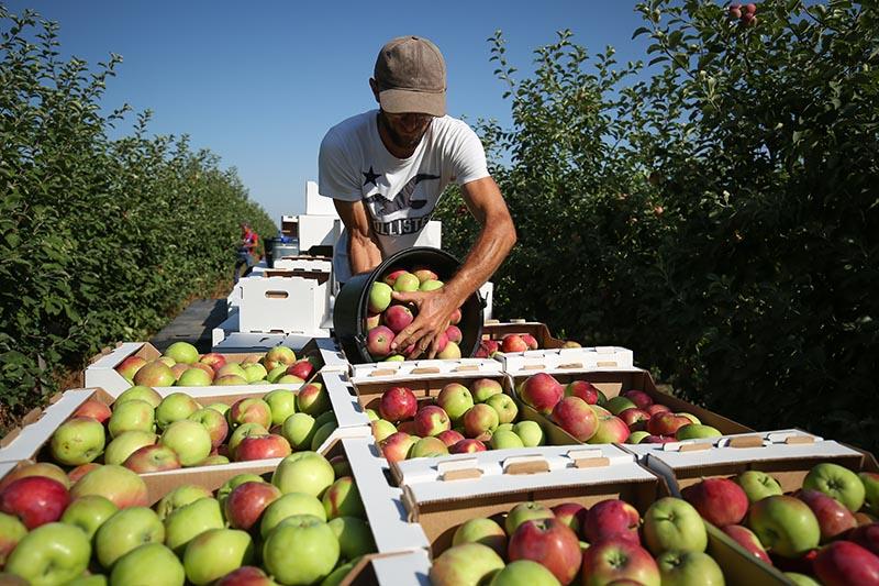 Сбор летних сортов яблок
