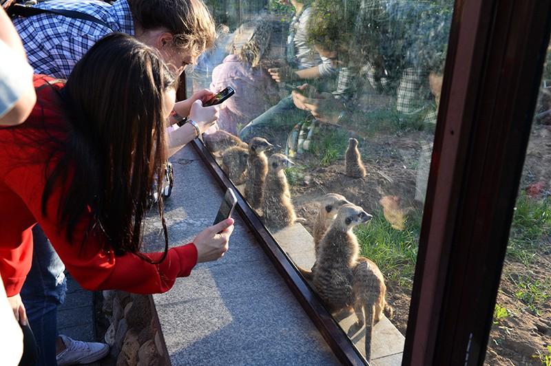 Посетители фотографируют сурикатов в Московском зоопарке
