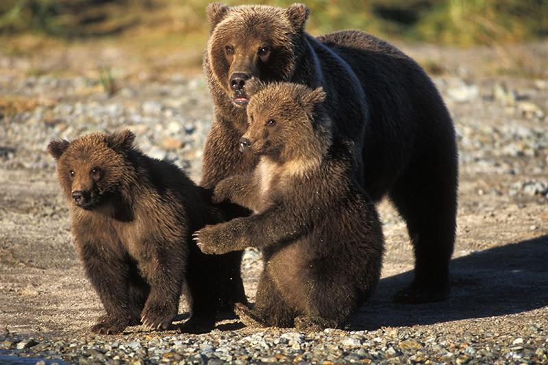 Медведица с медвечатами
