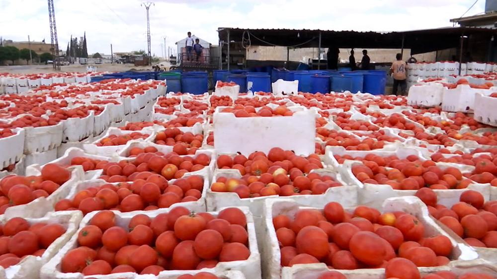 Сбор урожая помидоров в Сирии