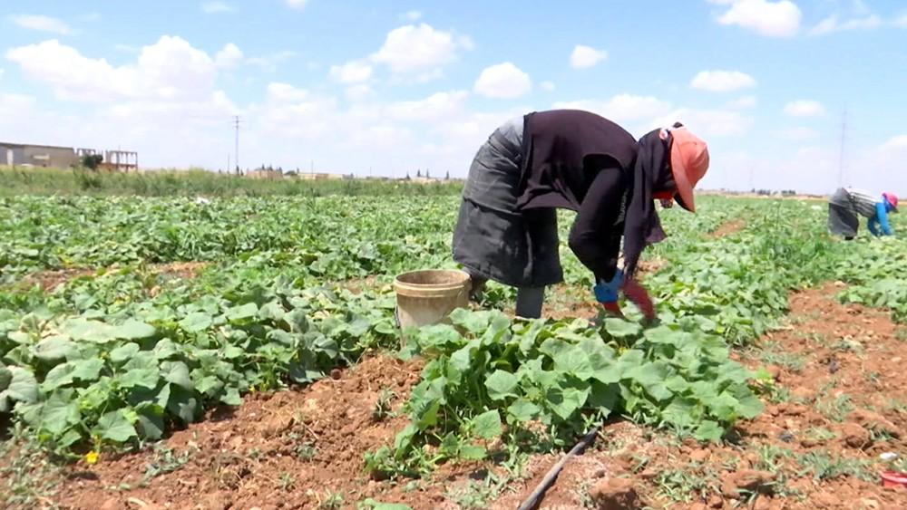 Обощная ферма в Сирии