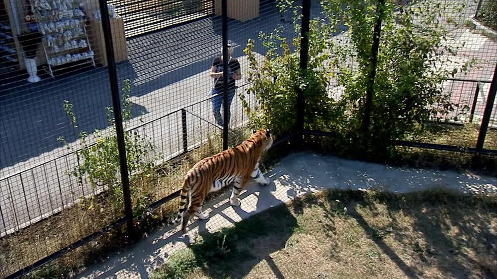 Амурский тигр в вольере