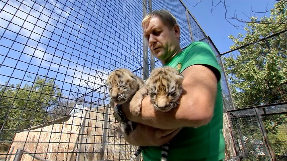 Новорожденные амурские тигрята