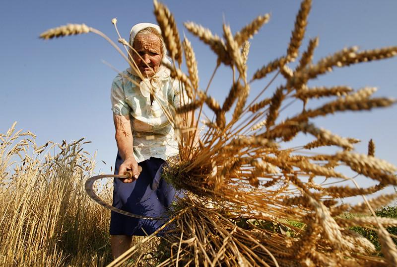Женщины косят пшеницу серпом в поле