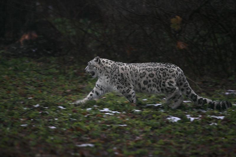 Снежный барс (ирбис)