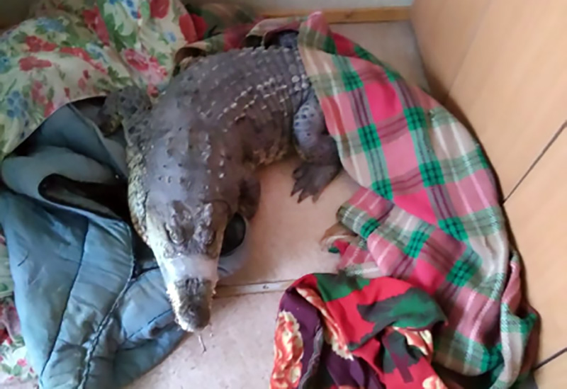 Изъятый крокодил