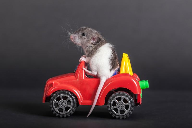 Крыса на машинке