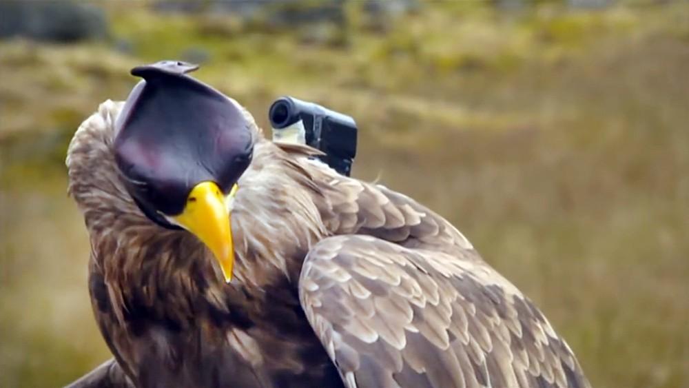 Орел с прекрепленной камерой