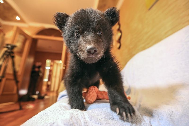Двухмесячный медвежонок