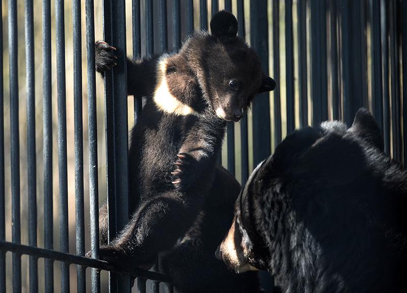 Гималайский медвежонок и медведица