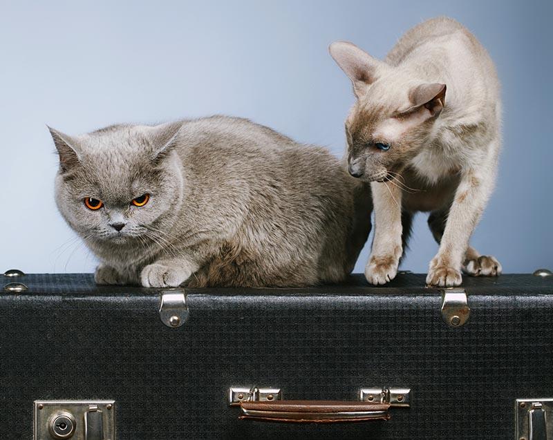 Коты сидят на чемодане